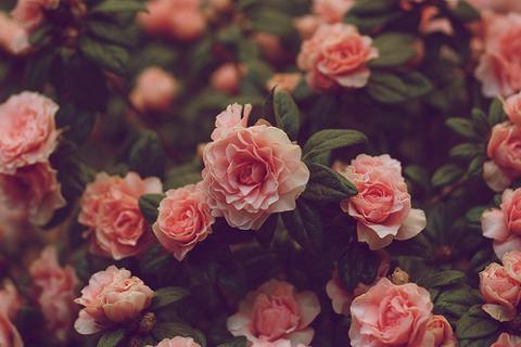 cute-flowers-flowers-pink-roses-photography-pink-Favim.com-435946